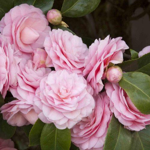 Camellia Japonica 'Pearl Maxwell' (Camellia 'Pearl Maxwell') - Shrub