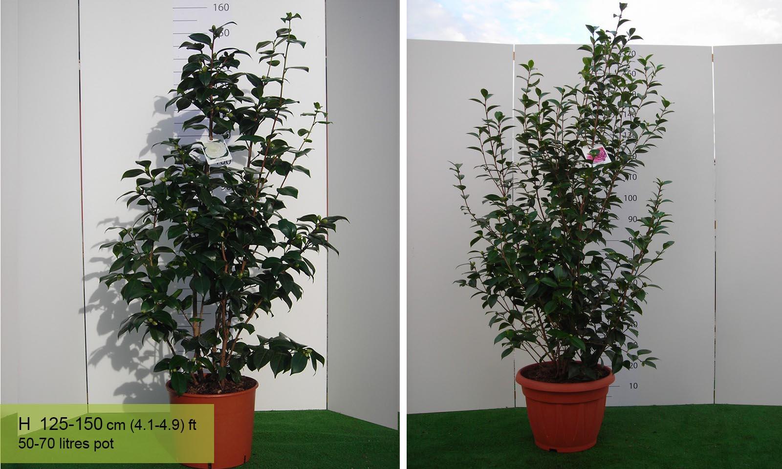 Camellia Japonica Pearl Maxwell - Shrub