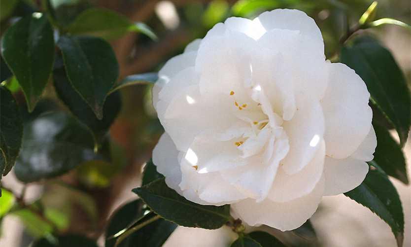 Camellia Japonica White (Hakurakuten) - Shrub
