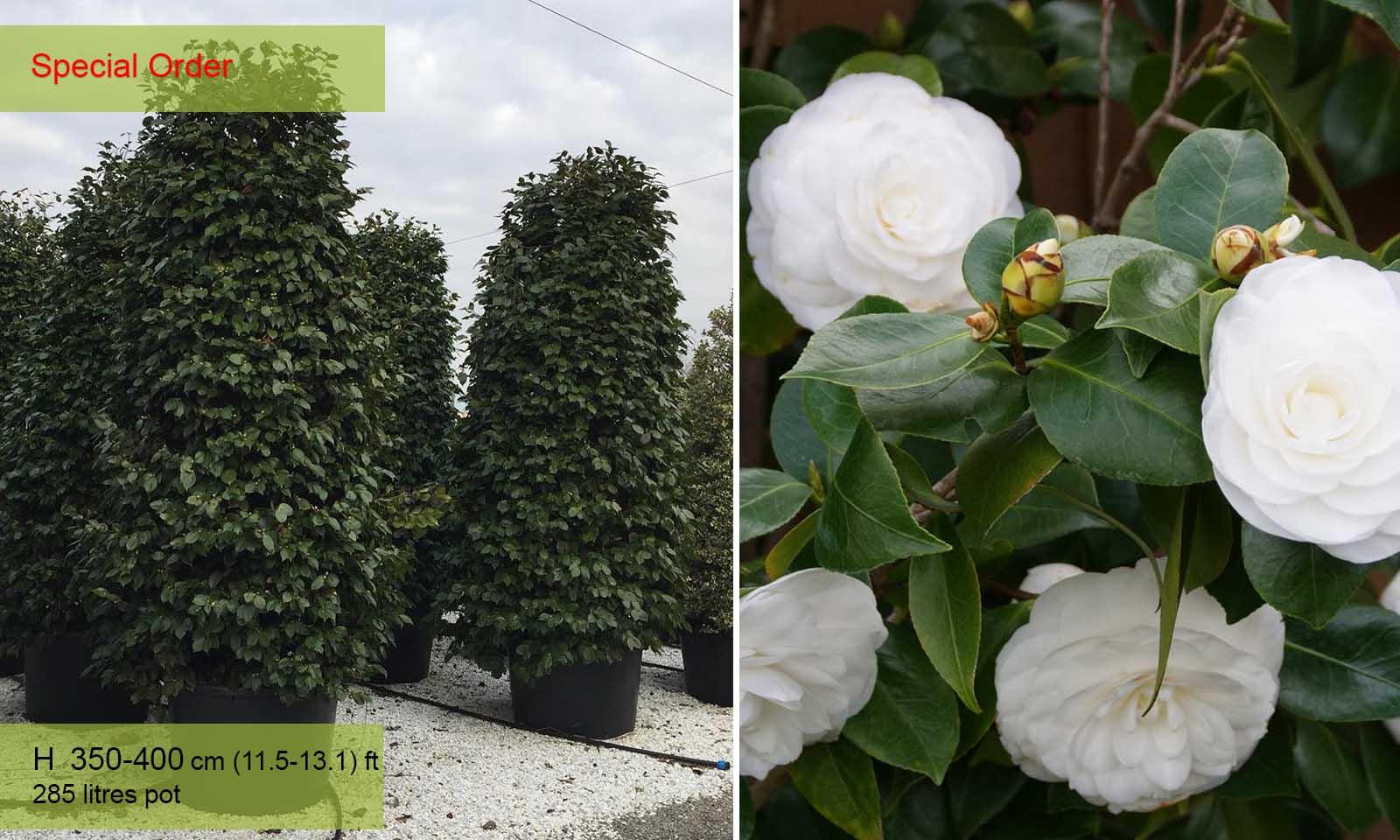 Camellia Japonica White - Shrub