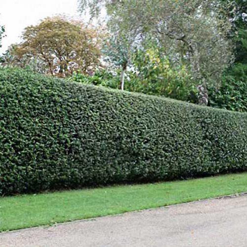 Ilex Aquifolium - Shrub