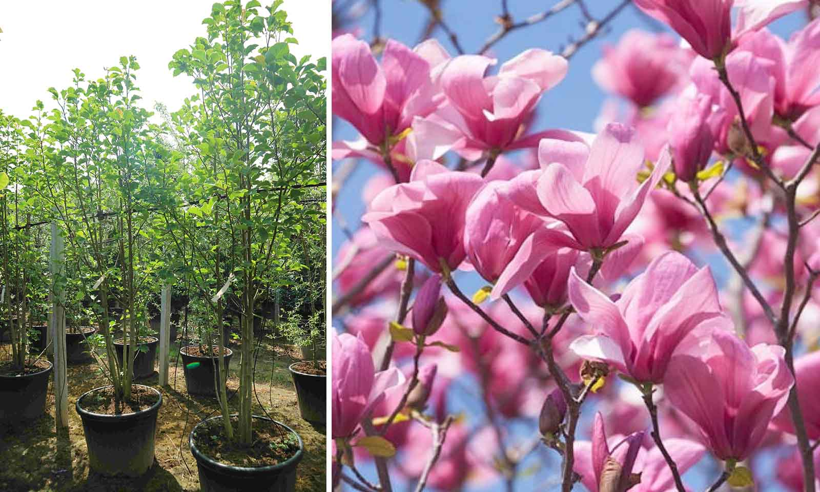 Magnolia Galaxy - Shrub