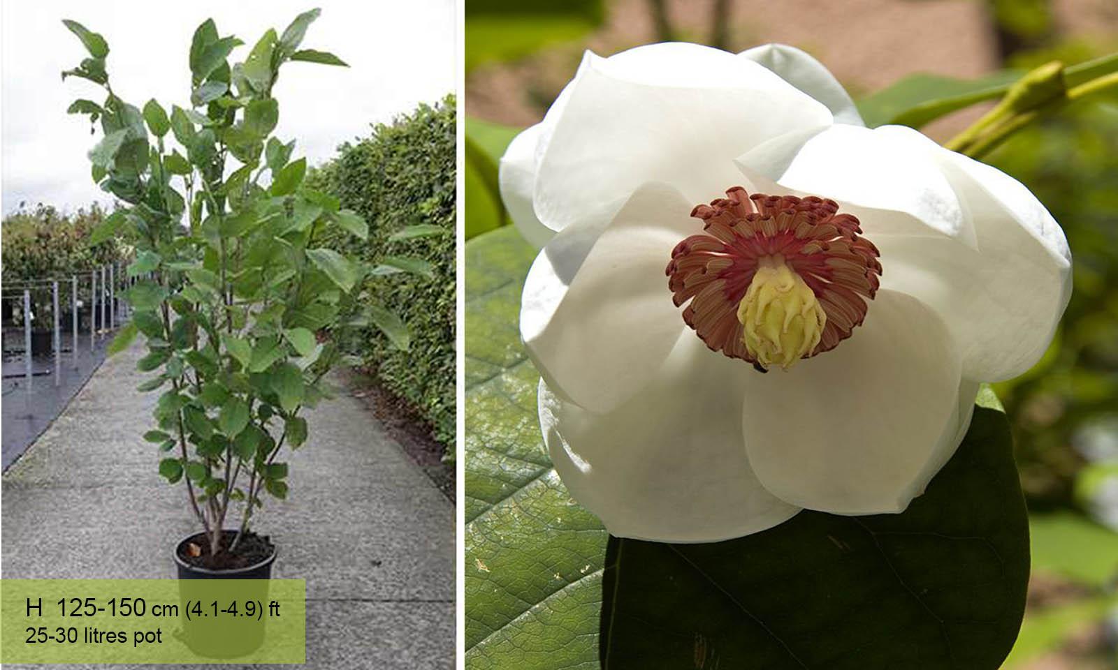 Magnolia Sieboldii (Siebolds Magnolia/Oyama Magnolia)