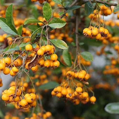 Pyracantha Soleil D'OR Yellow Berries (Golden Firethorn) - Climbing