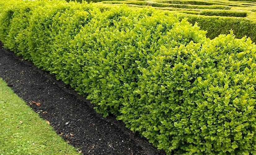 Buxus Microphylla Faulkner (Box Faulkner) - Shrub