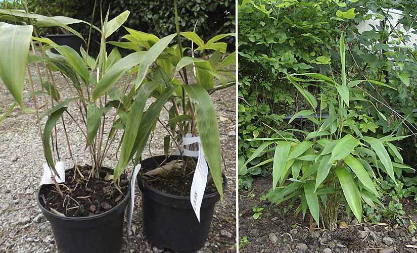 Bambusa Sasa Tessellata (Long Leaf Bamboo)