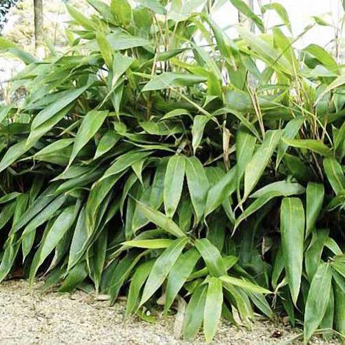 Bambusa Sasa Palmata Nebulosa (Broadleaf Bamboo)