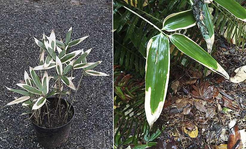 Bambusa Sasa Veitchii (Bamboo Kuma Zasa)