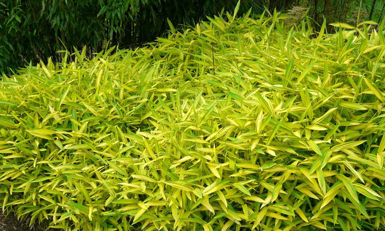 Bambusa Pleioblastus Viridistriatus Auricoma (Dwarf Greenstripe Bamboo)