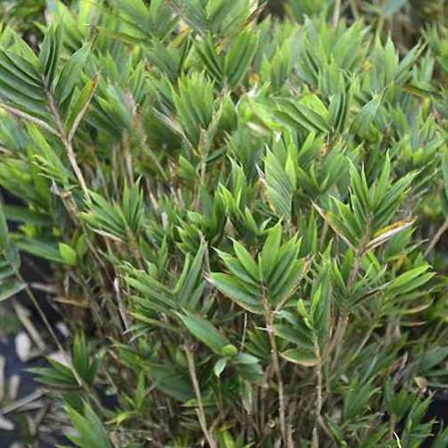 Bambusa Pleioblastus Distichus (Dwarf Fernleaf Bamboo)