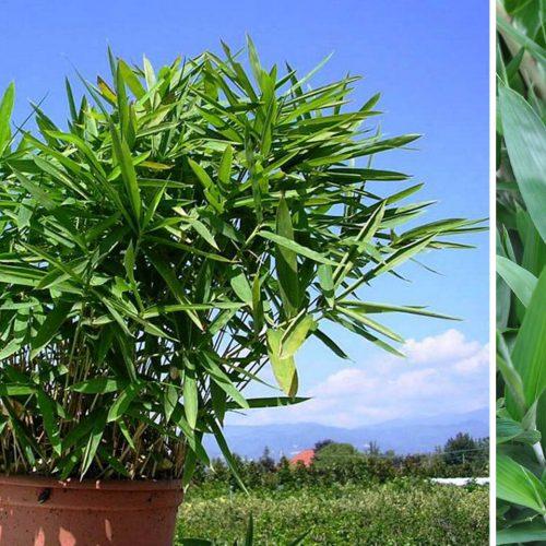 Bambusa Pleioblastus Pumilus (Bamboo Trees)
