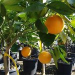 Citrus Sinensis (Orange Trees) – Half Standard