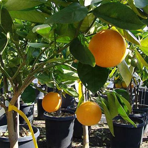 Citrus Sinensis (Orange Trees) - Half Standard