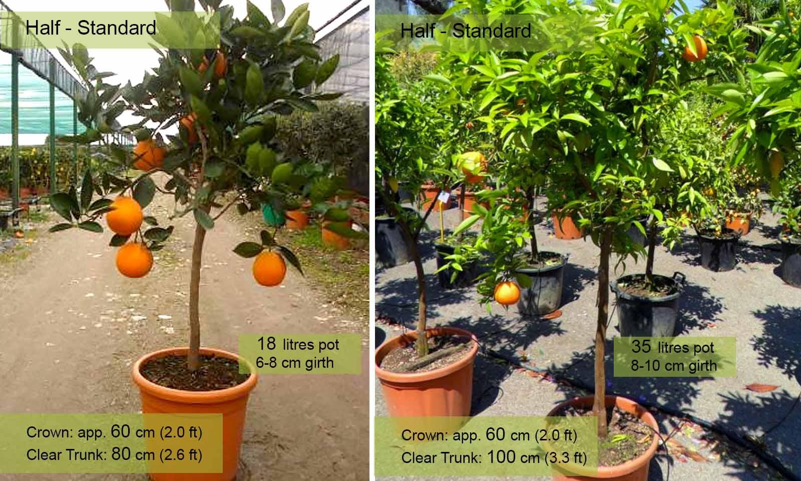 Citrus Sinensis (Orange Trees) - Half standard