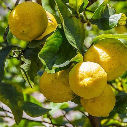 Citrus Limonum (Lemon Trees) - Half standard