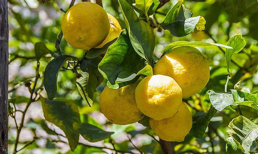 Citrus Limonum (Lemon Trees) – Half standard – Garden Plants Online