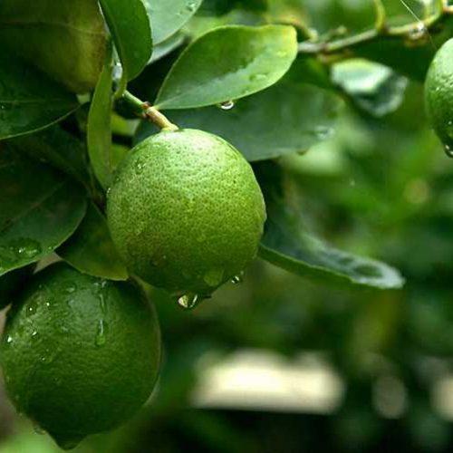 Citrus Lime (Lime Trees / Limetta) - Quarter Standard