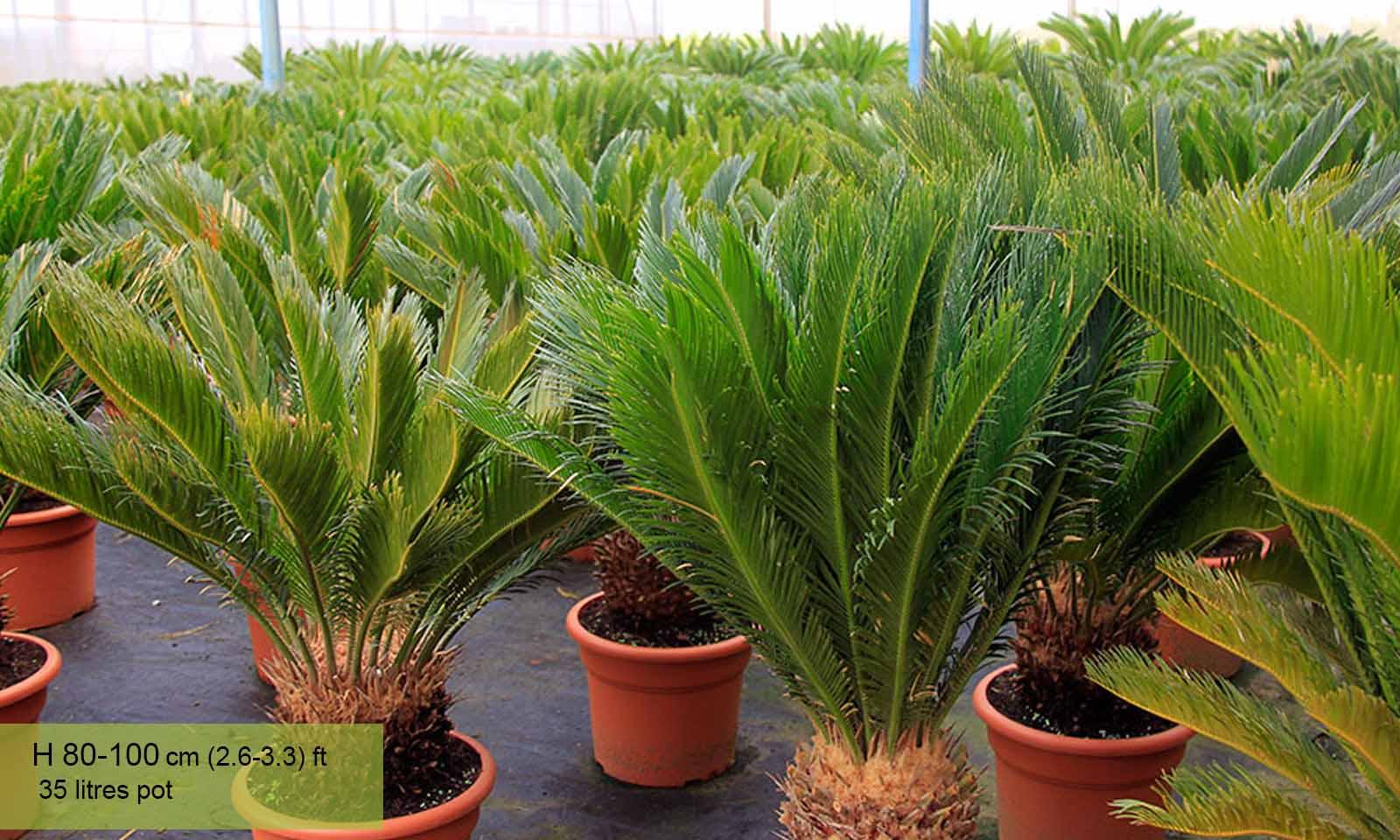 Cycas Revoluta (Sago Palm Cycad)