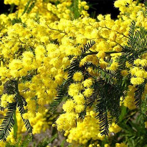 Acacia Dealbata (Mimosa Tree)