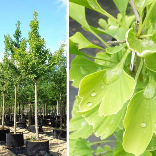 Ginkgo Biloba (Maidenhair Tree) - Standard