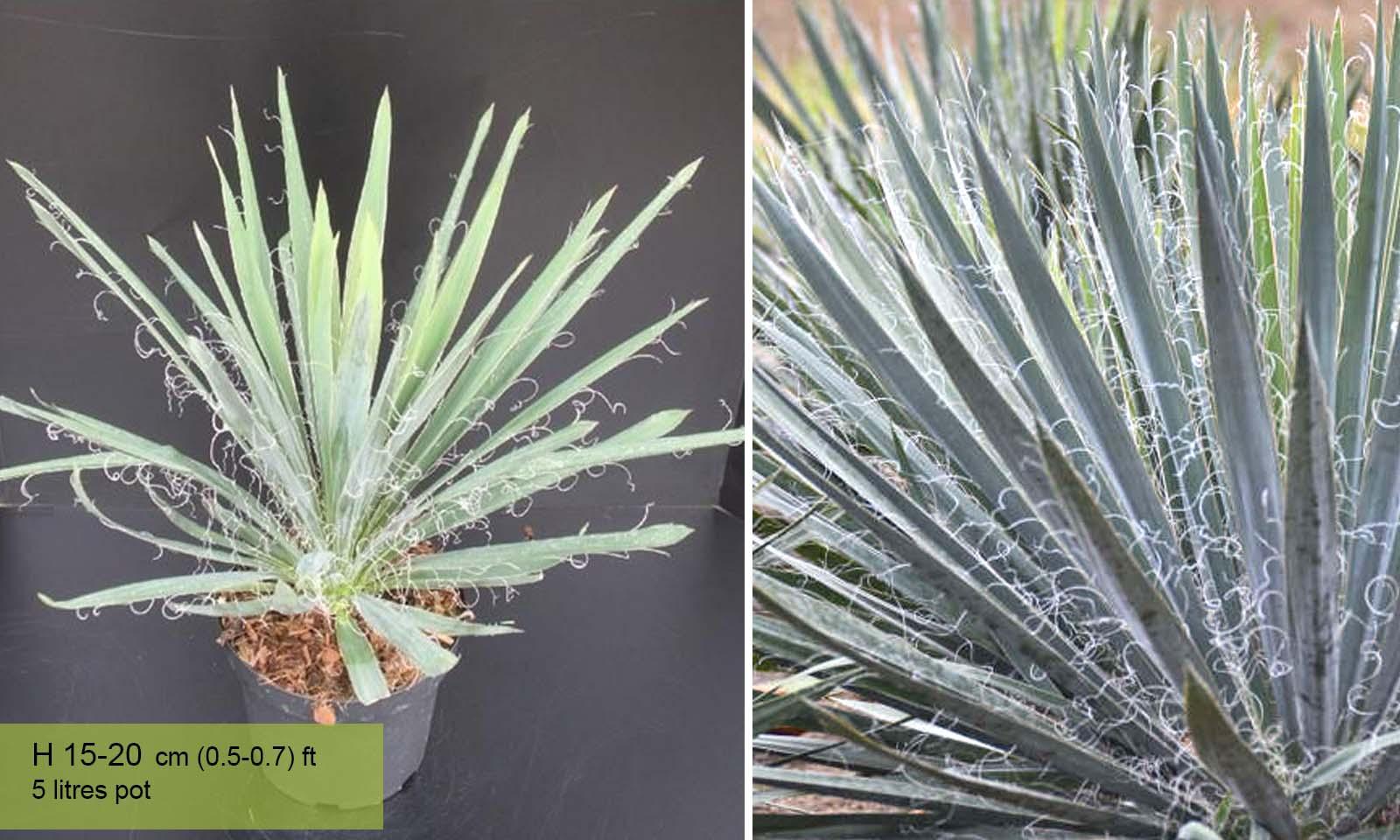 Yucca Filamentosa (Adams Needle)