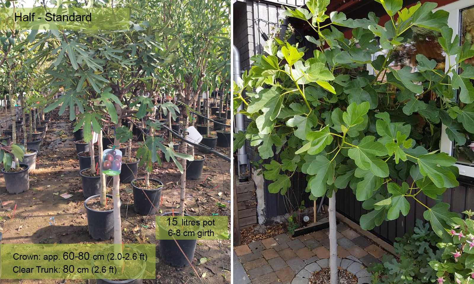 Ficus Carica Brown Turkey (Edible Common Fig Tree) - Half standard