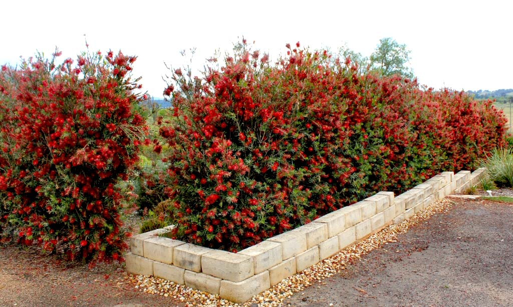 Callistemon Laevis (Bottle Brush Tree) - Shrub