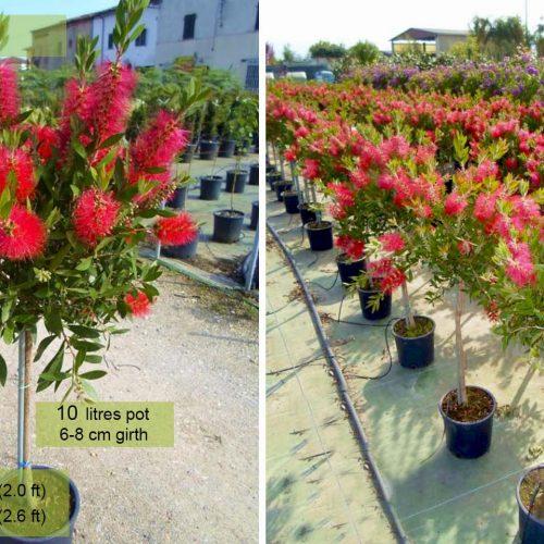 Callistemon Viminalis - Bottle Brush Tree