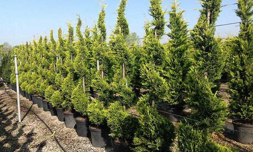 Cupressocyparis Leylandii Castlewellan Gold (Golden Leyland Cypress) - Spiral