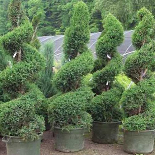 Thuja Occidentalis Smaragd (White Cedar) - Spiral