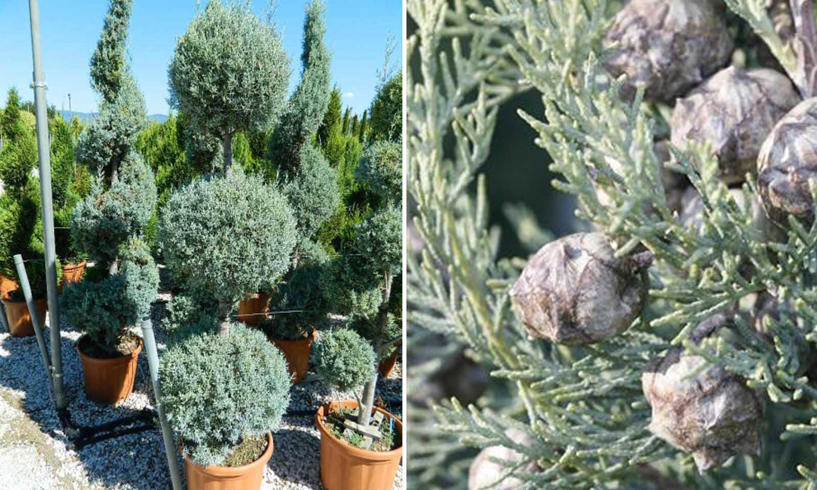 Cupressus Arizonica Fastigiata (Blue Arizona Cypress) – 3 Balls