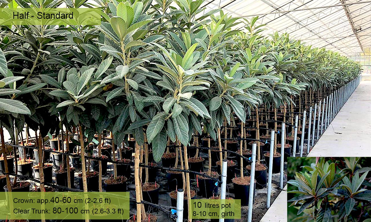 Eriobotrya Japonica (Loquat Tree) – Half standard