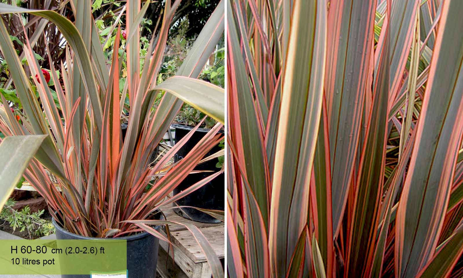 Phormium Sundowner New Zealand Flax Garden Plants Online