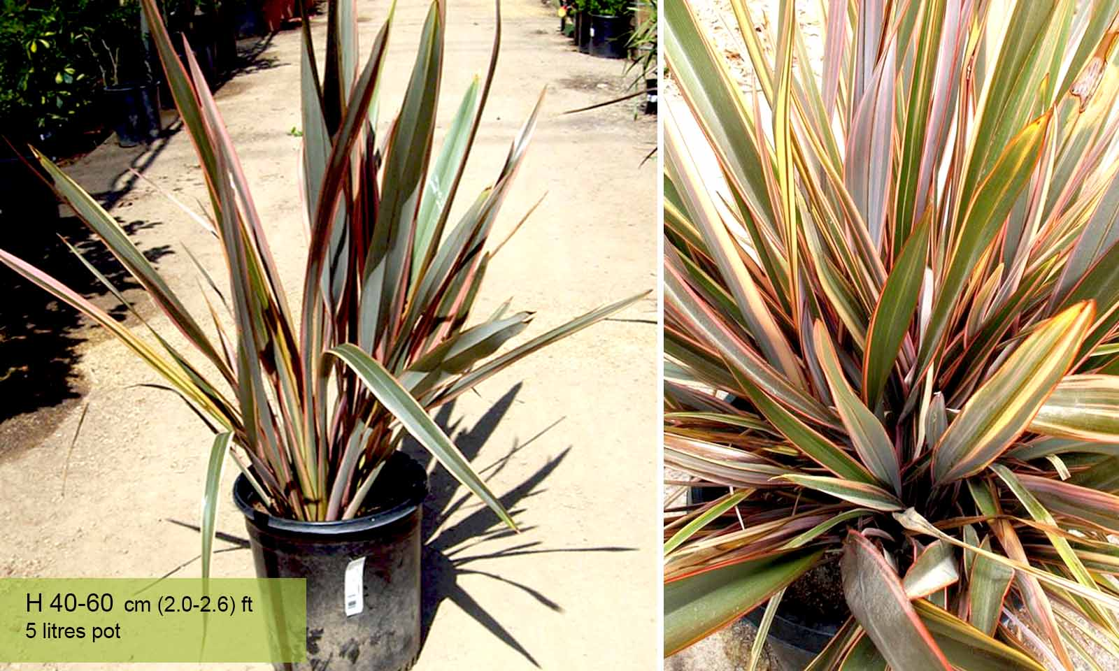 Phormium Sundowner (New Zealand Flax)