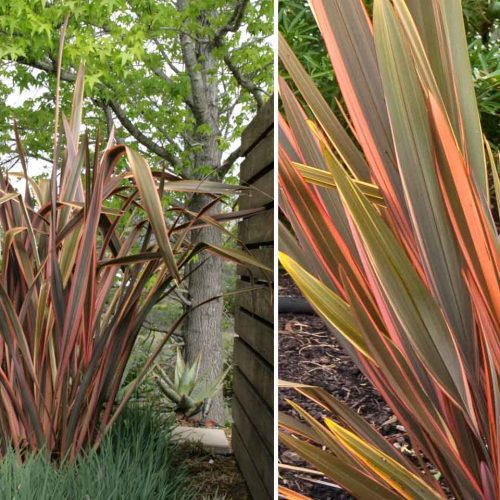 Phormium Sundowner (New Zealand Flax)