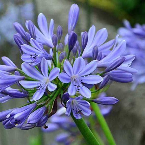 Agapanthus Umbellatus Ovatus (African Lily) - Shrub