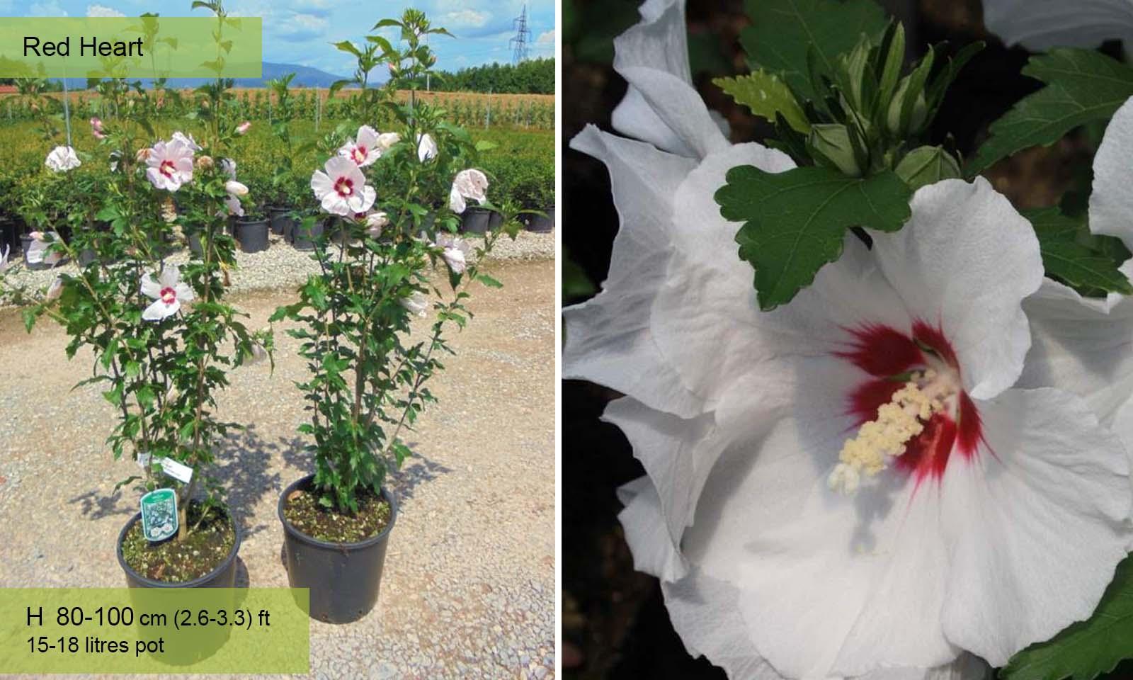 Hibiscus Syriacus - Shrub
