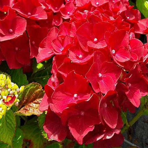 Hydrangea Macrophylla Red Baron - Shrub