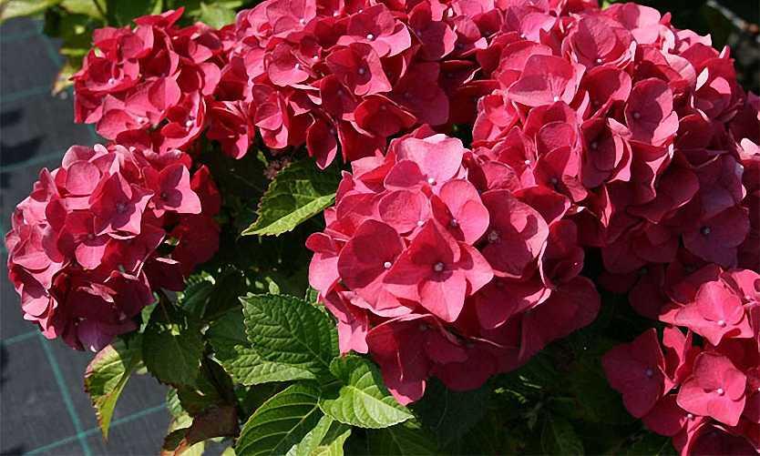 Hydrangea Macrophylla Red Baron - Shrub