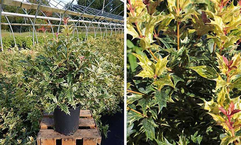 Osmanthus Heterophyllus Tricolor (Holly Osmanthus) - Shrub