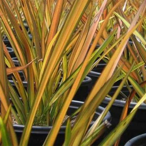 Phormium Apricot Queen (New Zealand Flax)