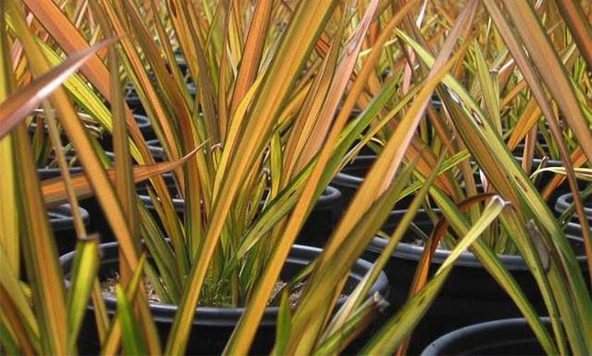 Phormium Apricot Queen (New Zealand Flax)