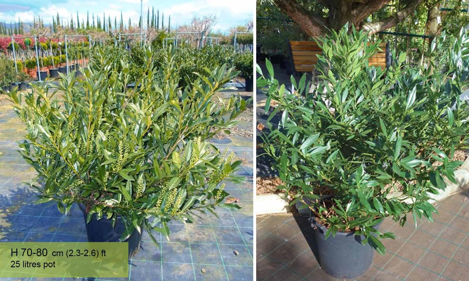 Prunus Laurocerasus Otto Luyken (Cherry Laurel) - Shrub