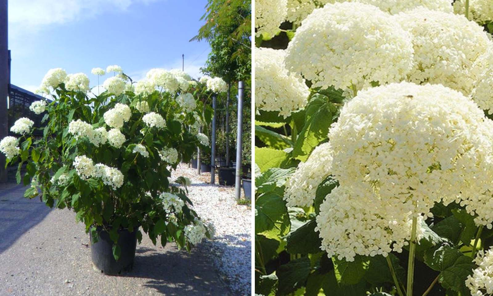Hydrangea Arborescens 'Annabelle' (Hydrangea 'Annabelle') - Shrub