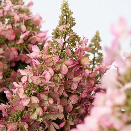 Hydrangea Paniculata 'Pinky Winky' (Paniculate Hydrangea 'Pinky Winky') - Shrub