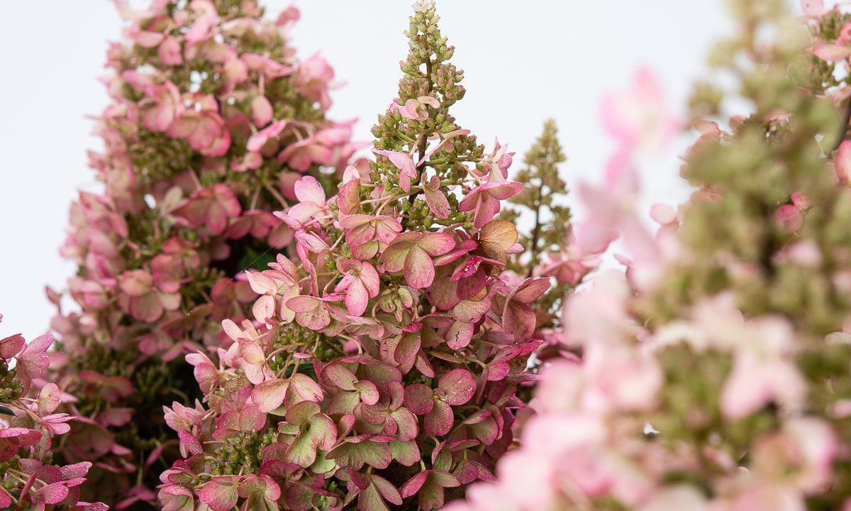Hydrangea Paniculata Pinky Winky Paniculate Hydrangea Pinky Winky Shrub Garden Plants Online