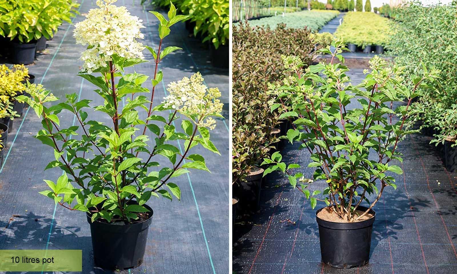 Hydrangea Paniculata Vanille Fraise - Shrub