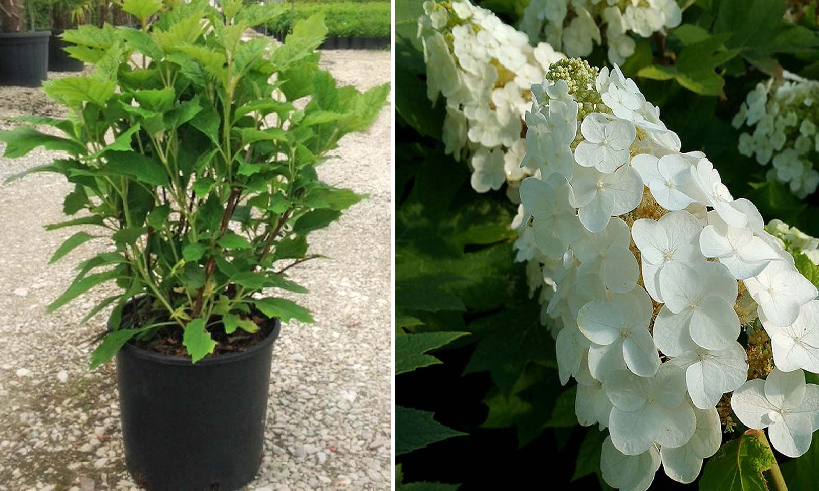 Hydrangea Quercifolia Snow Queen - Shrub