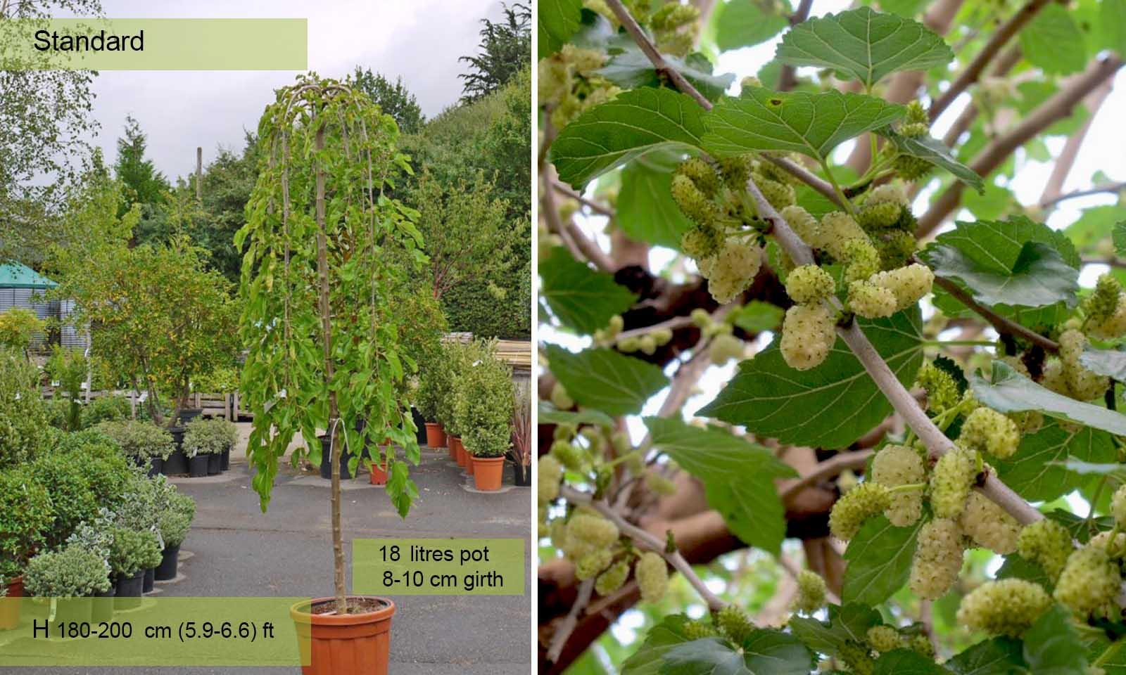 Morus Alba Pendula (Weeping White Mulberry)