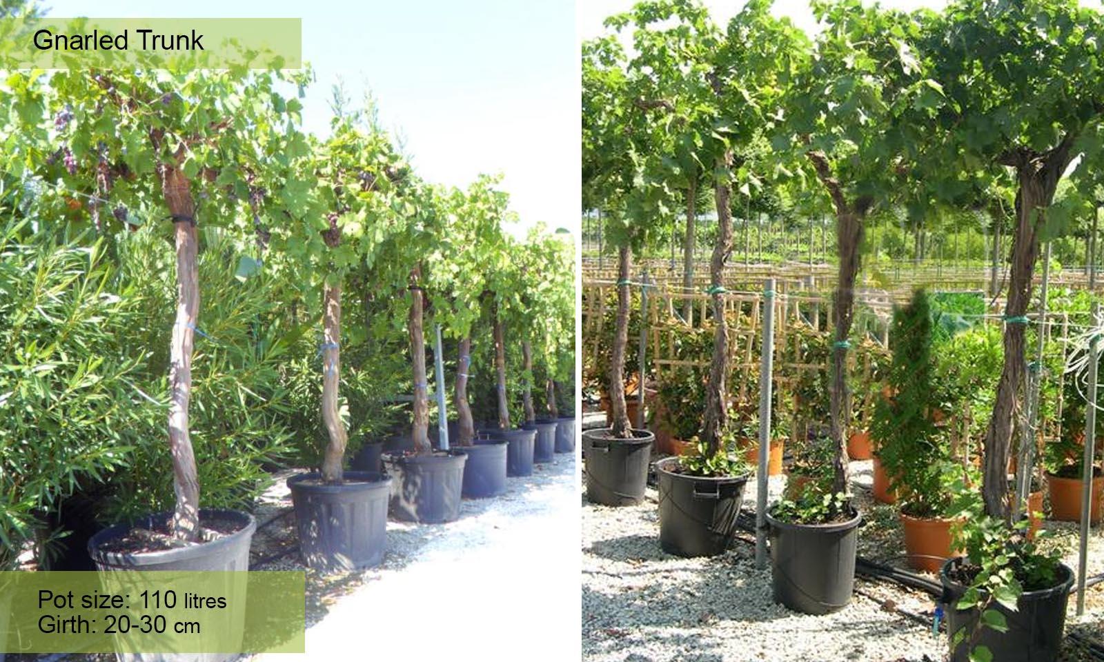 Vitis Vinifera (Grape Tree) - Gnarled Trunk